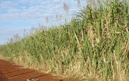 Global prices of sugar depend on Brazil's bumper crops