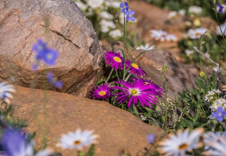 In Pictures: Spectacular Bloom Transforms South African Desert