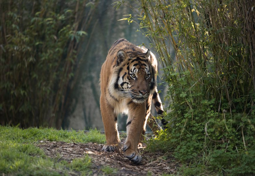 Indonesia: Villagers Kill Rare Tiger Thinking It Was a Shapeshifter