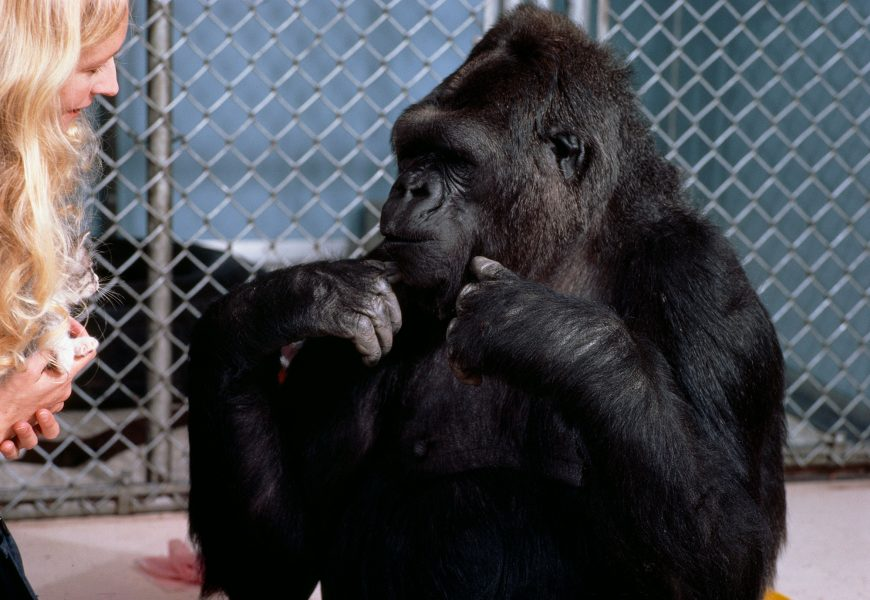 Koko, the gorilla that learned sign language, dead